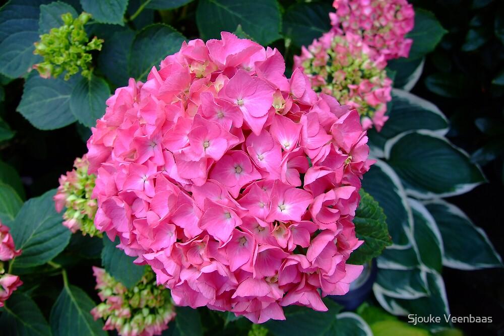 Pink Hydrangea by Sjouke Veenbaas