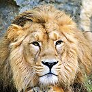 Lion / Panthera leo by cs-cookie