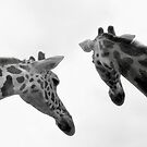 Giraffes by Tina  Bark