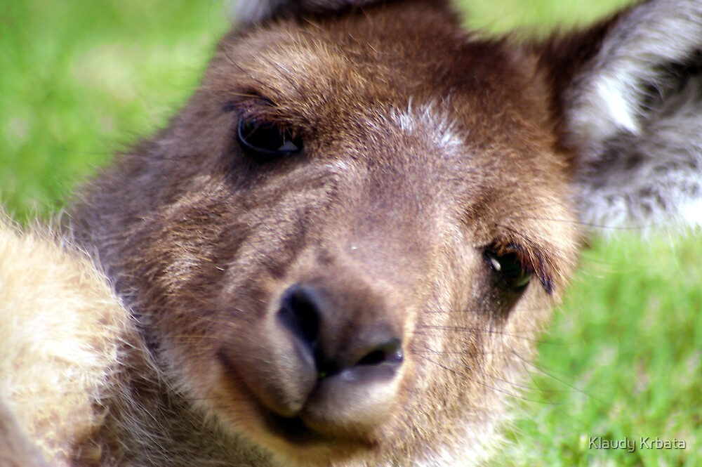 kangaroo by Klaudy Krbata