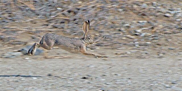 Black Tail Jack Rabbit by raptrlvr
