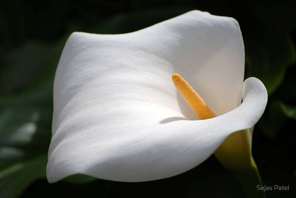 Calla Lily by Sejas Patel