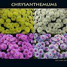 Chrysanthemums by Andy Harris