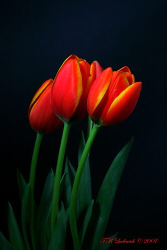 Orange Tulips by grinandbearit