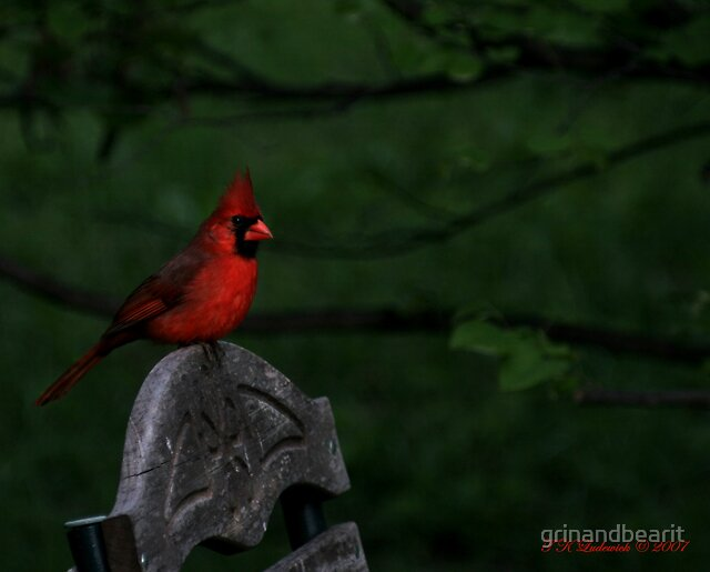 Red Cardinal by grinandbearit