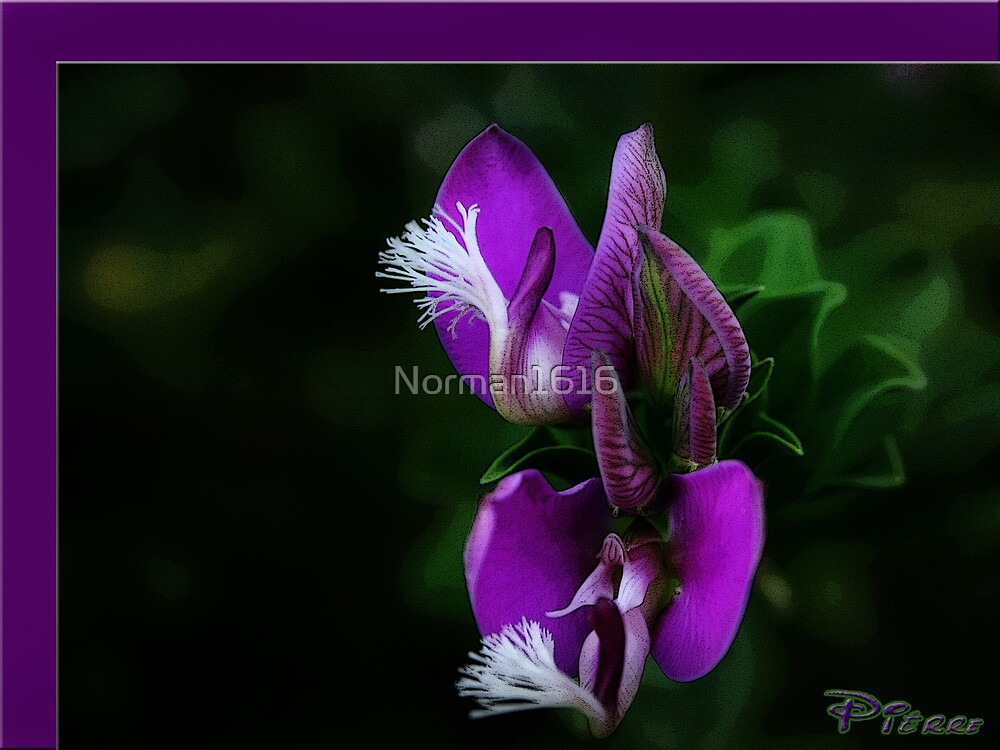 Purple by Norman1616