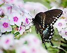 Phlox & Butterfly by Laurie Minor
