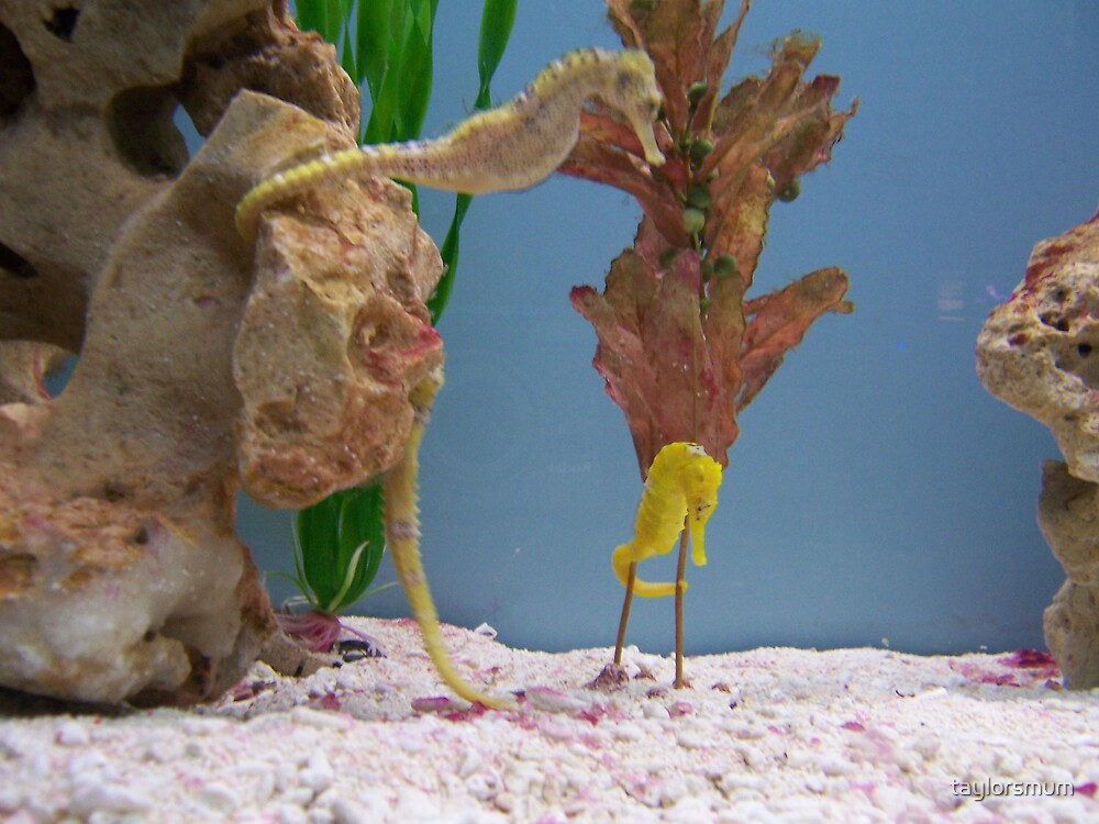 seahorses by taylorsmum