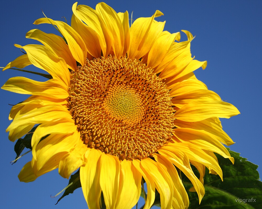 Big Sunflower by vipgrafx