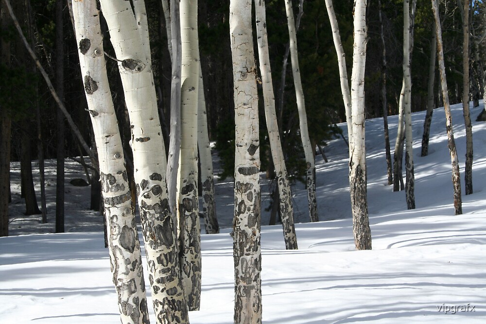 Aspen in the Snow by vipgrafx