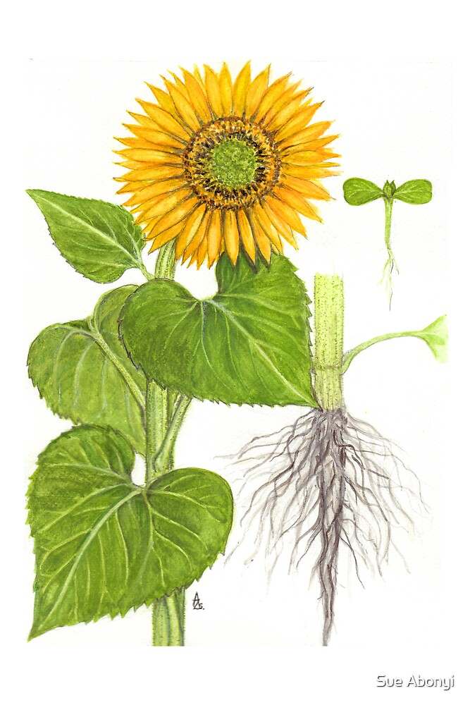 Sunflower - Helianthus annuus by Sue Abonyi