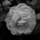 Camellia in Black and White by Douglas E.  Welch