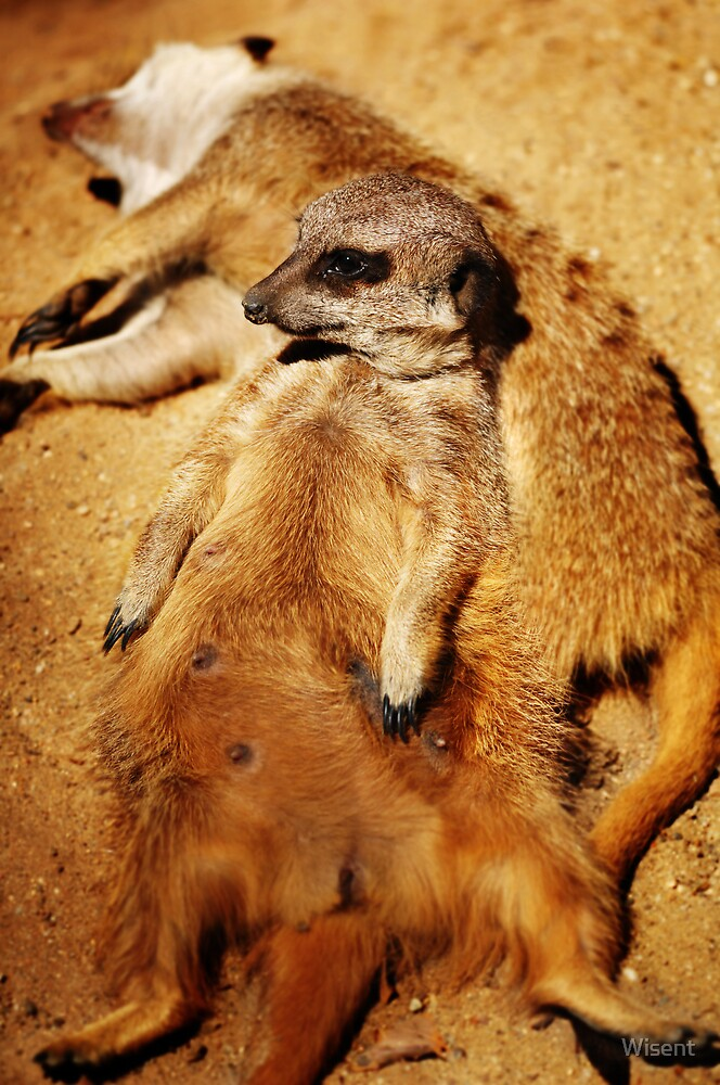 Meerkat by Wisent