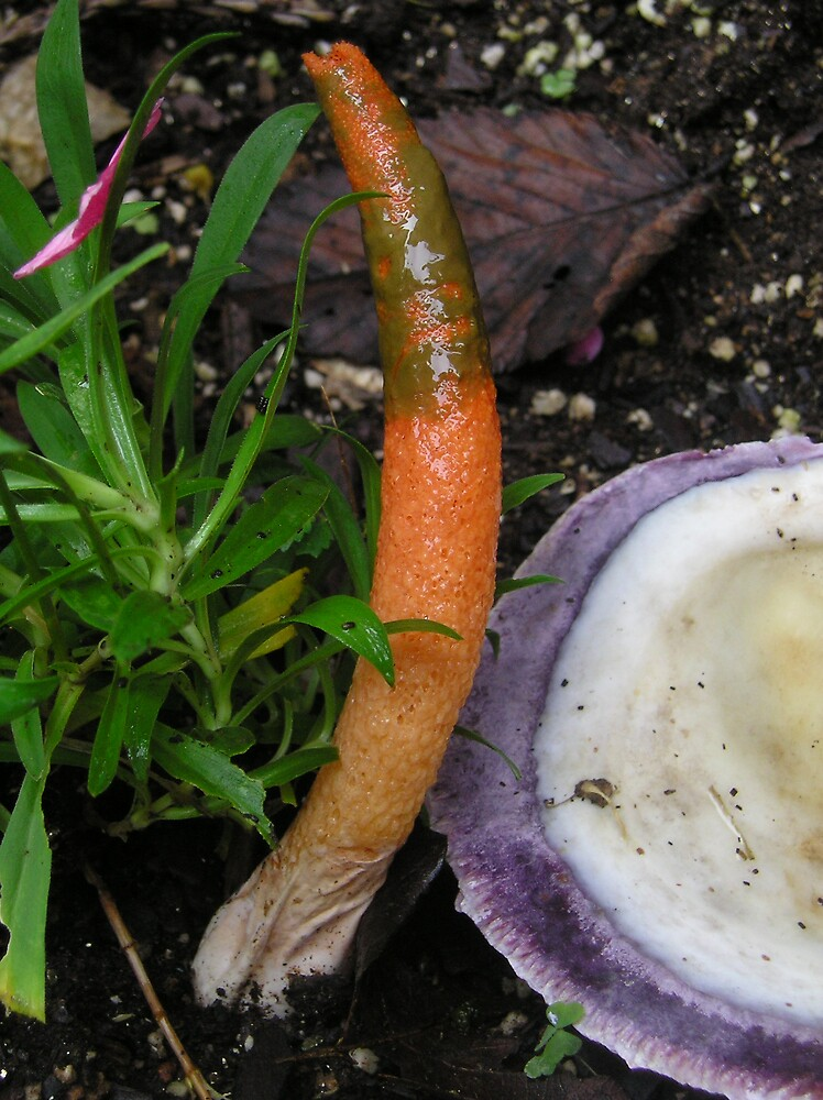Stink Horn by adrianmole