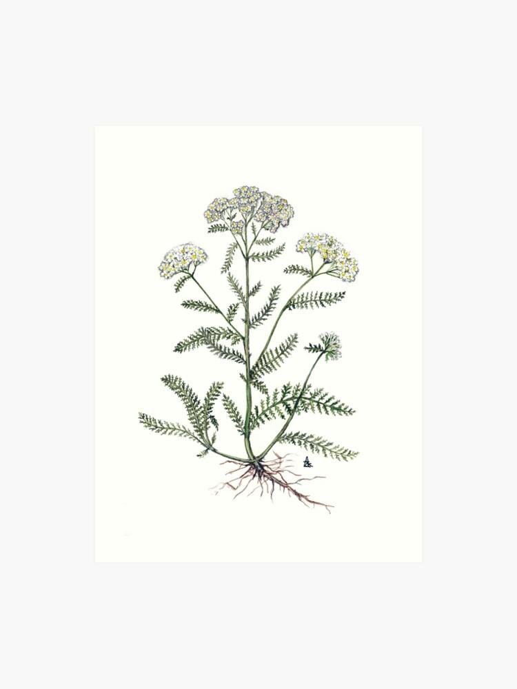 Achillea MillefoliumLámina Achillea Yarrow Artística MillefoliumLámina Yarrow Ybf6y7g