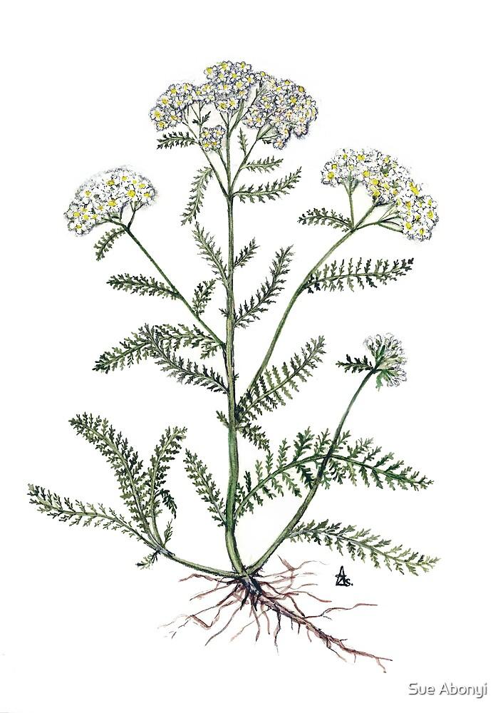 Yarrow  - Achillea millefolium by Sue Abonyi