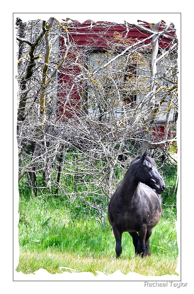Stallion by Rachael Taylor