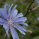 beautiful blue flower by larga
