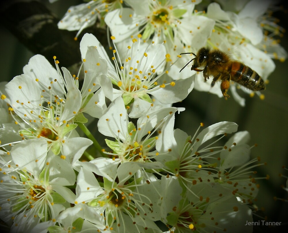 blossom bee by Jenni Tanner