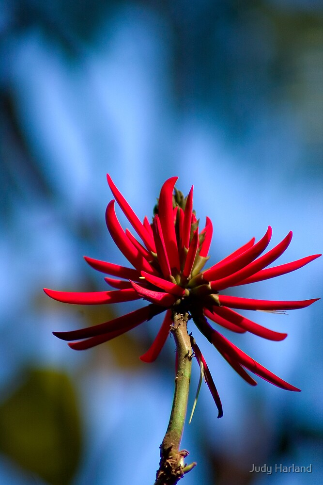 Showy Coral Tree flower (Erythrina speciosa) by Judy Harland