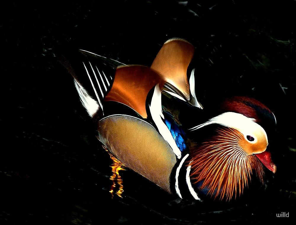 Mandarin Duck by willd