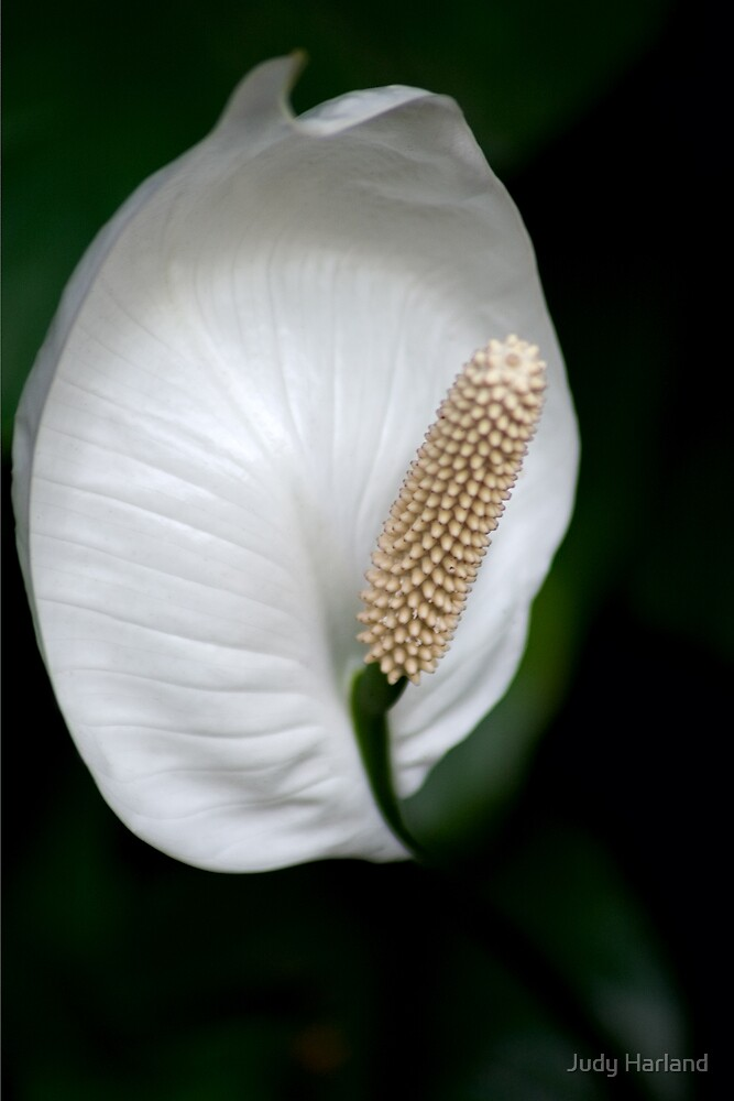 Peace Lily by Judy Harland