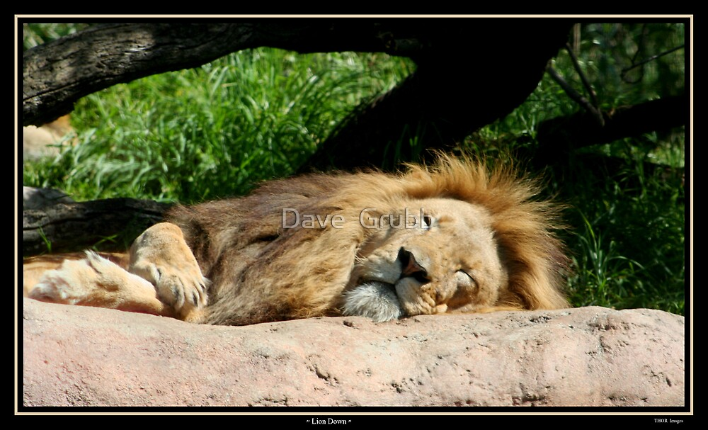 Lion Down by Dave  Grubb