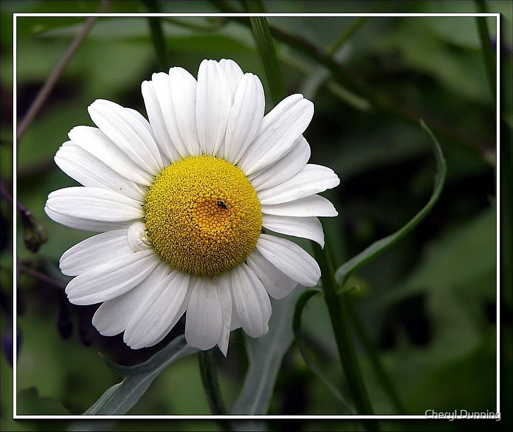 Daisy... by Cheryl Dunning
