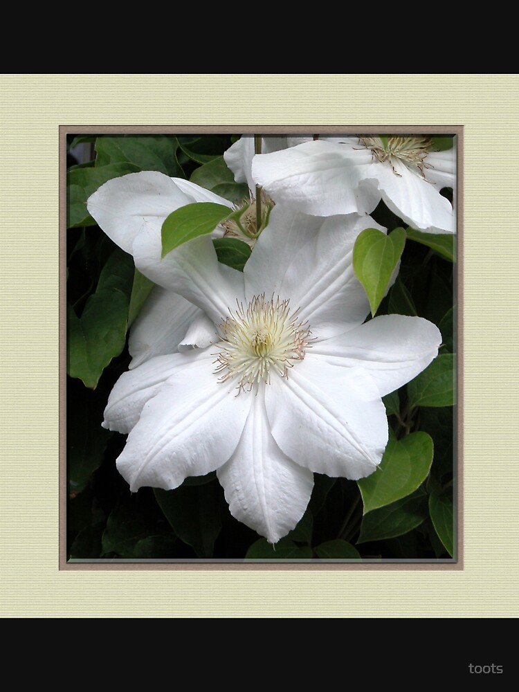 White Clematis by toots