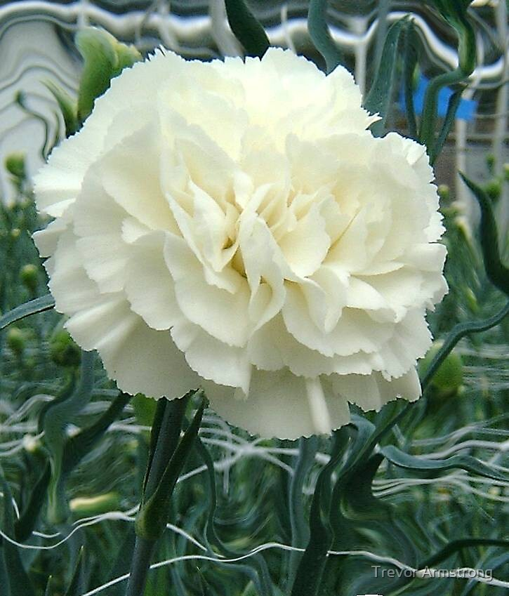 Carnation Take2 by Trevor Armstrong