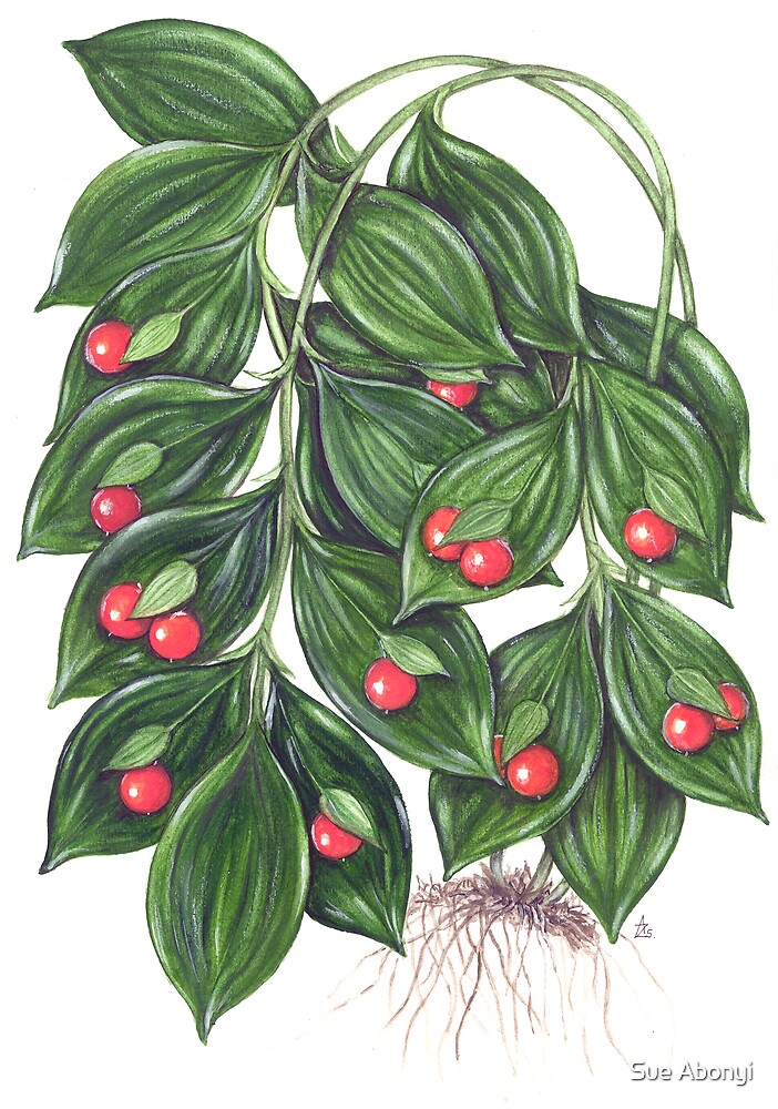 Miraculous Berry - Ruscus hypoglossum by Sue Abonyi