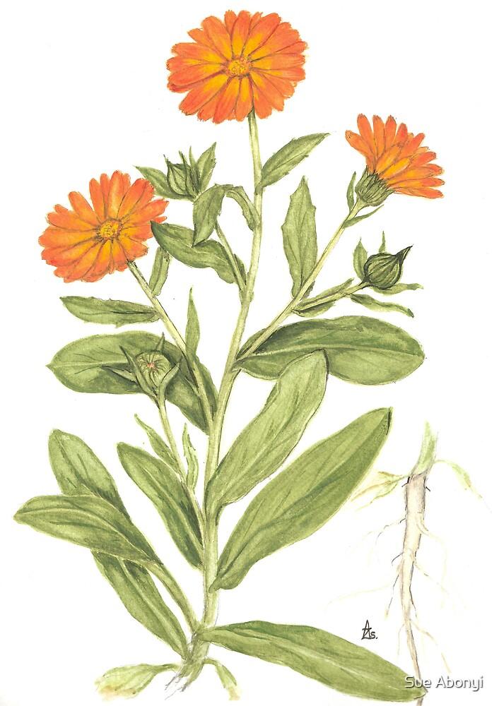English Marigold - Calendula officinalis by Sue Abonyi