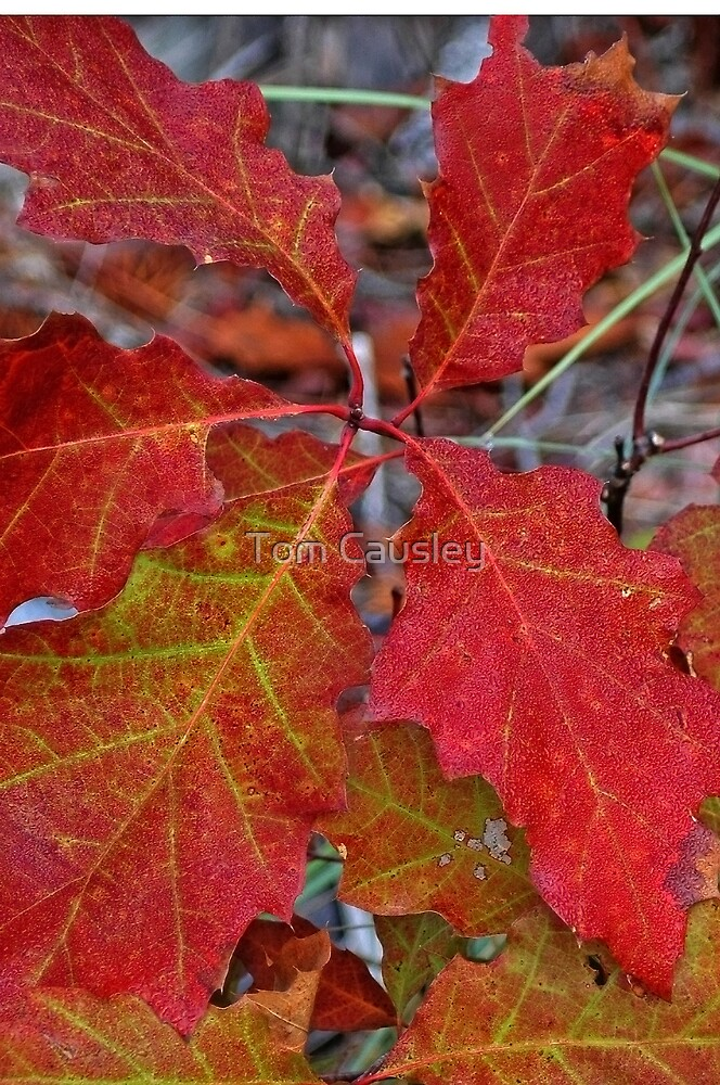 Fire Leaves by Tom Causley