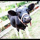 Cow-Cow by Lisa Hildwine