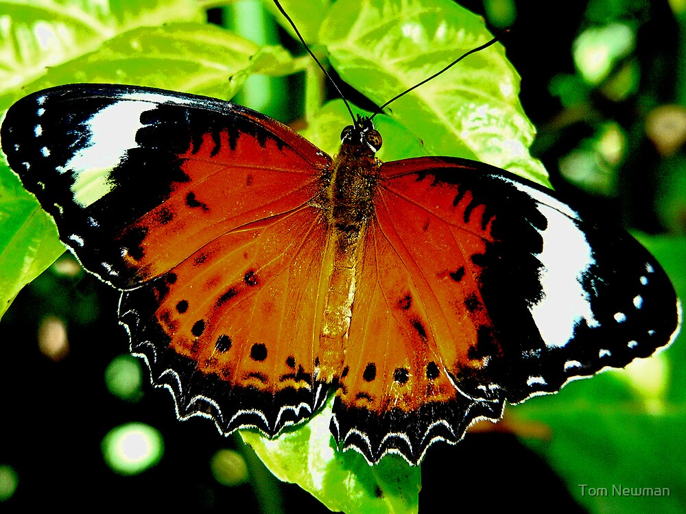 Orange Lace Wing Butterfly VIII by Tom Newman