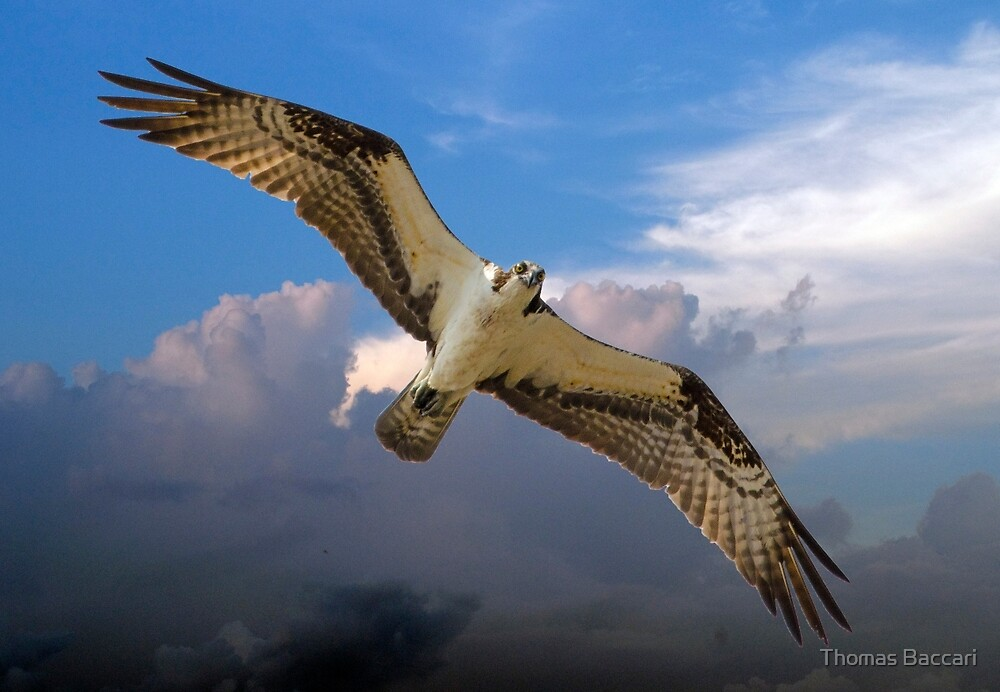 Osprey Flying High in the Sky by TJ Baccari Photography