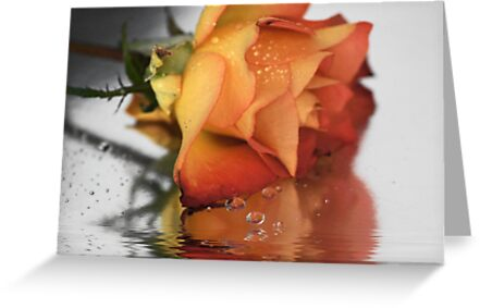 Rose reflections by Joyce Knorz