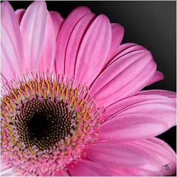 Pink Gerbera  by klipz