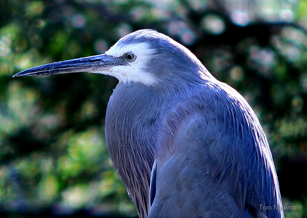 White Faced Heron III by Tom Newman