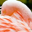 Flamingo by Jerry  Mumma