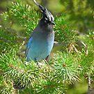 Colorado Mountain - Bird by aladdincolor