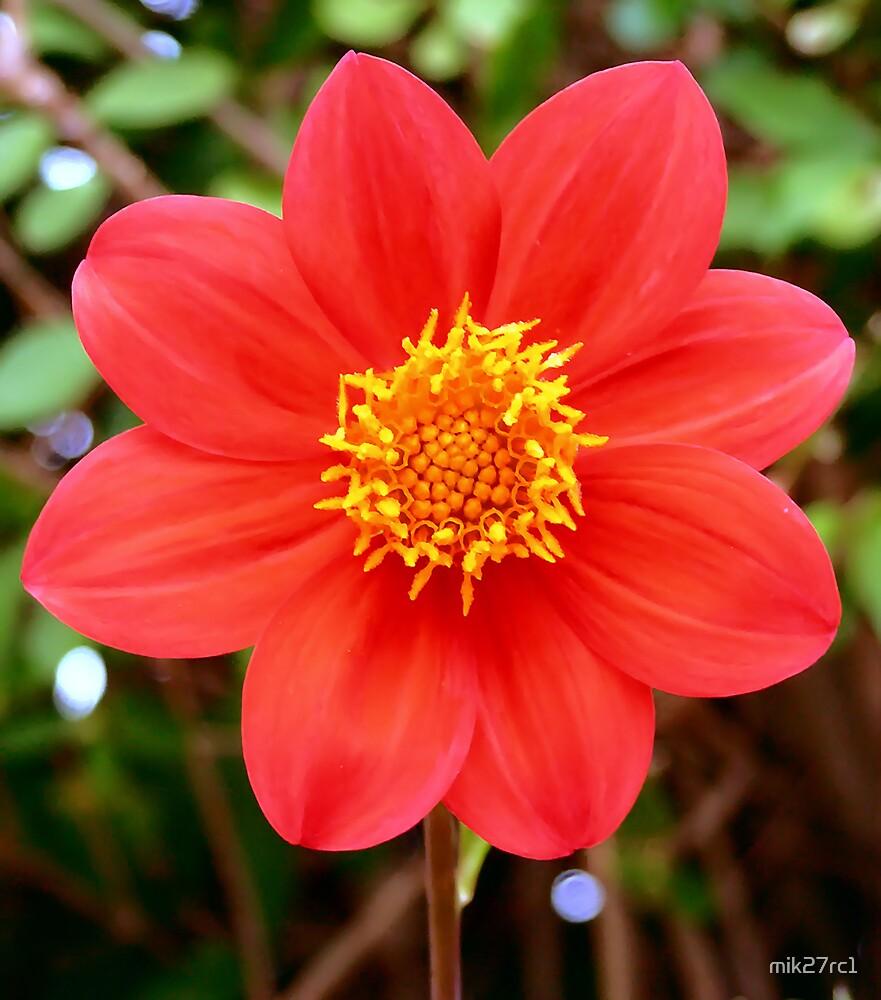 Dahilia flower by mik27rc1