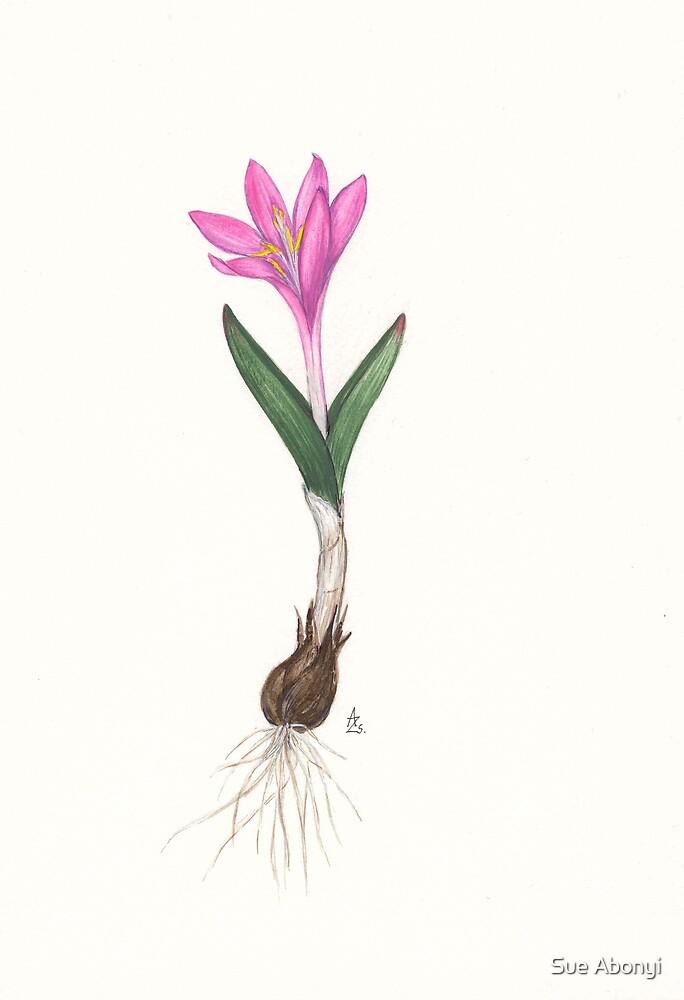 Bulbocodium versicolor by Sue Abonyi