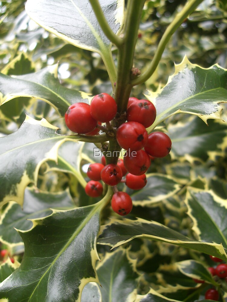 Holly  by Bramble
