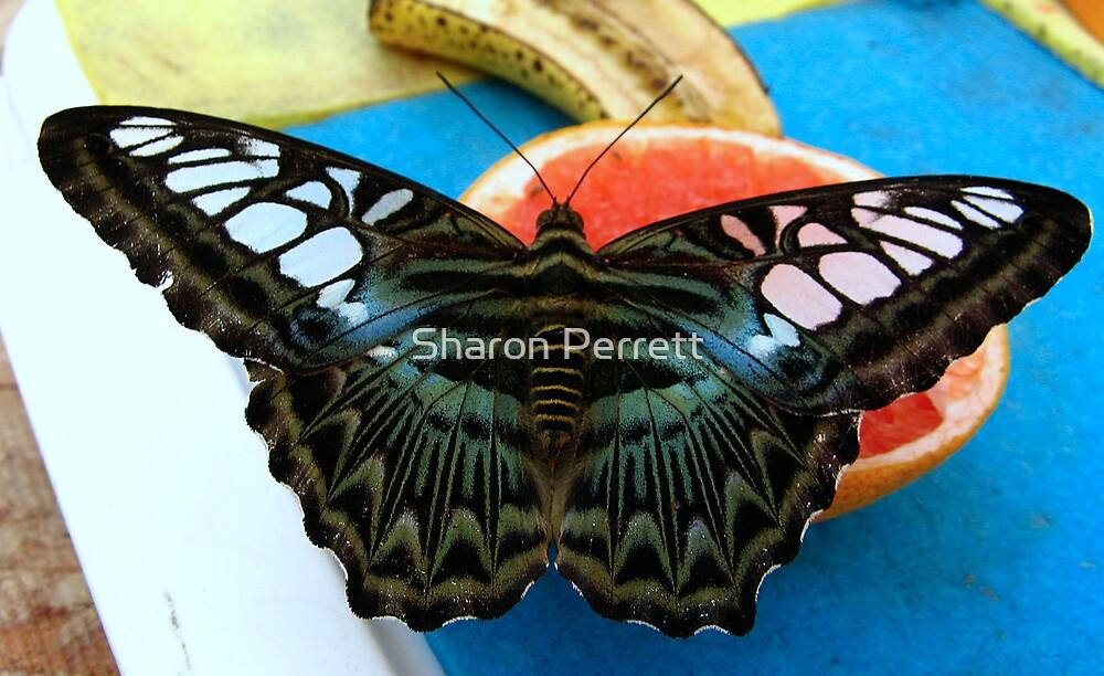 Blue Clipper - Open wings by Sharon Perrett