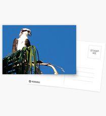 Osprey, Pandion haliaetus Postcards