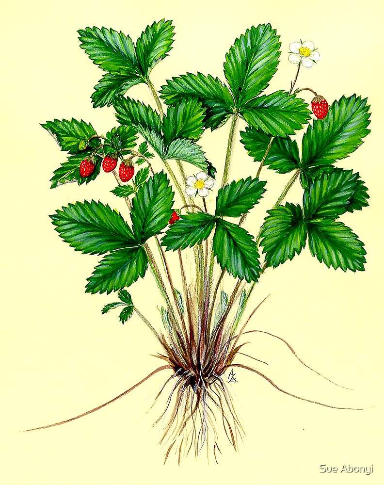 Woodland Strawberry - Fragaria vesca by Sue Abonyi