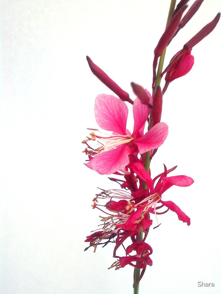 Pink  by Shara
