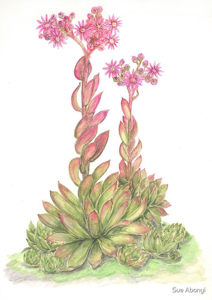 Sempervivum marmoreum by Sue Abonyi