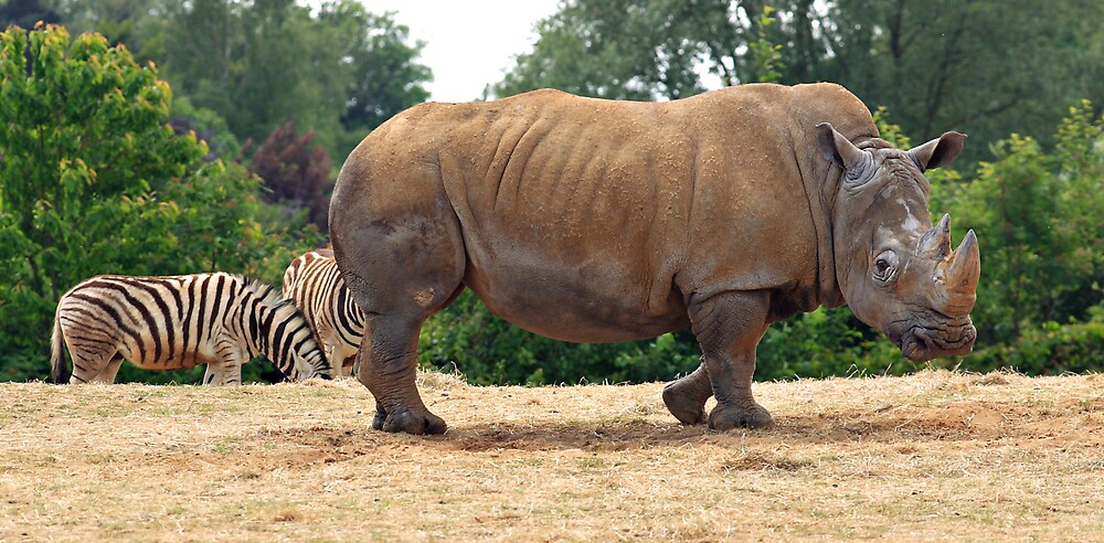 Rhino & Zebra by kitlew